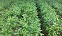 مواسم زراعة الزفير وطريقة زراعة الزفير