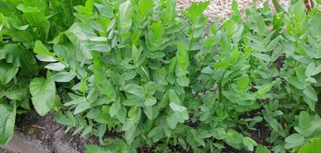 مواسم زراعة السيسارون طريقة زراعة السيسارون