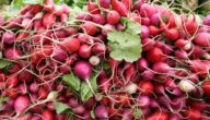 مواسم زراعة الفجل طريقة زراعة الفجل
