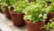 مواسم زراعة الكرفس وطريقة زراعة الكرفس