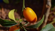 مواسم زراعة الكمكوات وطريقة زراعة الكمكوات