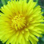مواسم زراعة الهندباء وطريقة زراعة الهندباء
