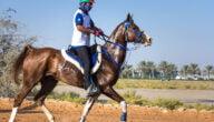 مواصفات خيول السباق وشروط تربيتها