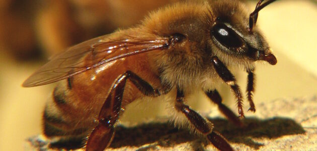مواصفات ملكة النحل الجيدة