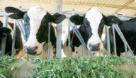 أساسيات تغذية الأبقار