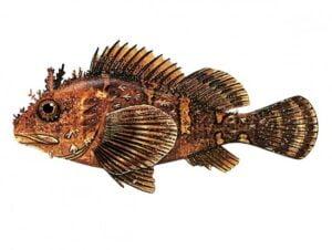 أسماء الأسماك في تركيا
