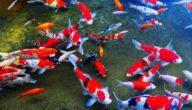 أغلى أنواع أسماك الزينة