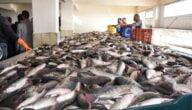 أغلى أنواع السمك في مصر