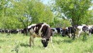 أفضل أنواع الأبقار في السودان