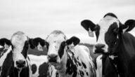 أنواع الأبقار في سوريا