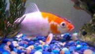 أنواع سمك الزينة المسالم