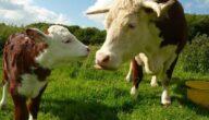 أهمية زراعة علف الأبقار