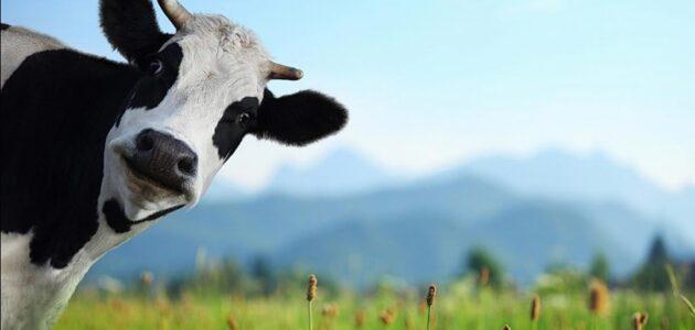 أسباب نقص الحليب عند الأبقار