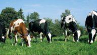 الاحتياجات الغذائية للأبقار الحلوب