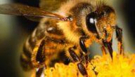 الفيروسات التي تصيب النحل تشخيص آفات النحل وطرق الوقاية منها
