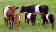 تربية الأبقار الصغيرة