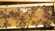 كيف تربى ملكات النّحل