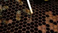 علاج تعفن الحضنة في النحل
