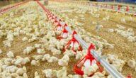 زيادة وزن الدجاج التسمين بطريقة سريعة
