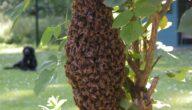 طريقة جني العسل البرّي