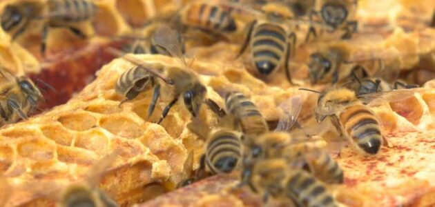 علاج أمراض النحل بالأعشاب