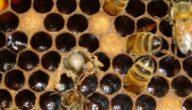 علاج تكيس الحضنة في النحل