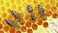 كيف يصنع النحل الخلية
