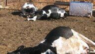 مرض الحمى القلاعية عند الأبقار
