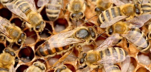 مرض الفاروا الذي يصيب النحل وطرق علاجه