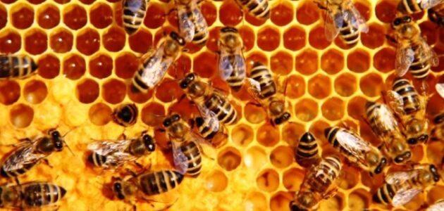 مشروع تربية النحل في افريقيا