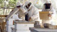 دراسة مشروع تربية النحل في الجزائر