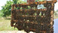 مشروع تربية النحل في السعودية
