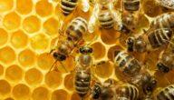 الأمراض التي تصيب خلايا النّحل