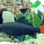 أنواع أسماك الزينة الشرسة