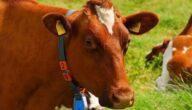 أشهر أنواع الأبقار في الولايات المتحدة الأمريكية