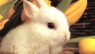 أفضل سلالات الأرانب في العالم