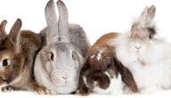 أمراض أرجل الأرانب