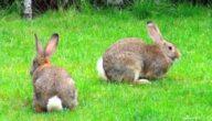 أمراض الأرانب المعدية للإنسان
