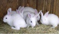 أنواع الأرانب وأسعارها في مصر