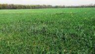 أنواع محاصيل الأعلاف الحيوانية