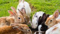 أين تعيش الأرانب