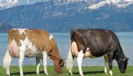استيراد الأبقار في المغرب
