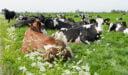 استيراد الأبقار من هولندا