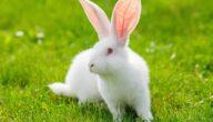 التسمم الدموي عند الأرانب