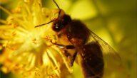 تجارة نحل العسل في مصر
