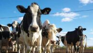 تربية الأبقار في الإمارات