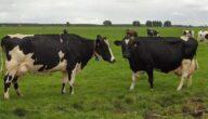 تربية الأبقار في فرنسا