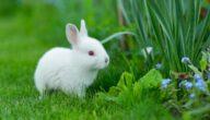 تربية الأرانب في الجزائر