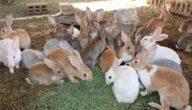 تربية الأرانب في مصر
