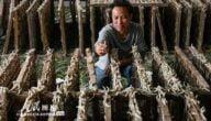 تربية دودة القز في الصين